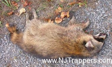 Nj Trappers 187 Animal Carcass Removal