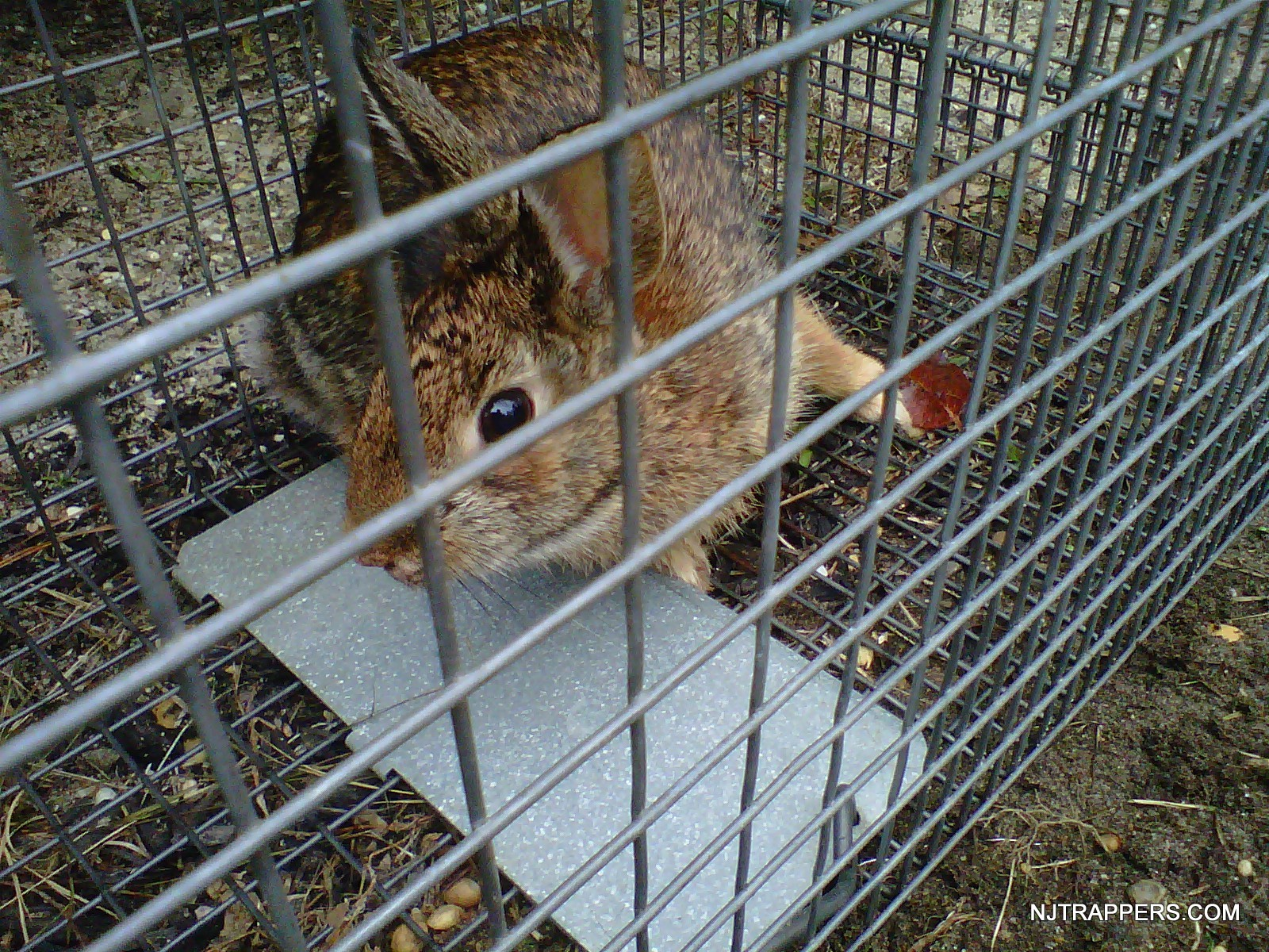 Nj Trappers 187 Animal Removal