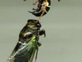 1-cicada_killer_cicada